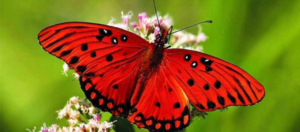 Kelebeklerin Ömrü 1 Gün Müdür? galerisi resim 1