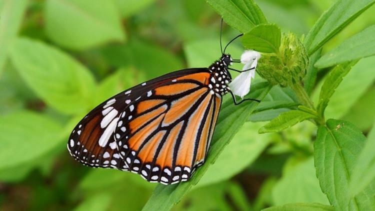 Kelebeklerin Ömrü 1 Gün Müdür? galerisi resim 6