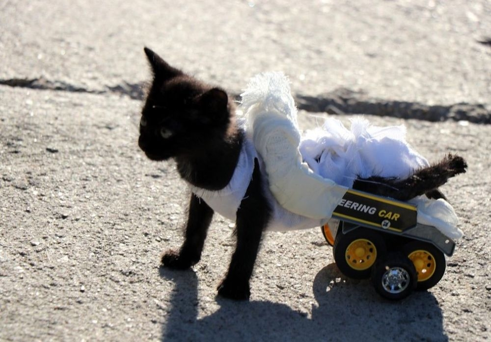Arka bacakları tutmayan kediye oyuncak kamyondan yürüteç yapıldı galerisi resim 4