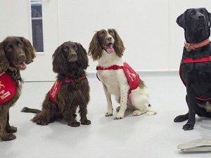 """""""Köpekler 6 haftalık eğitimle corona virüs hastalarını yarım saniyede te"""