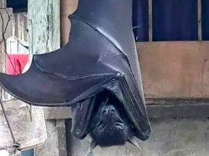Filipinler'de İnsan boyundaki yarasa