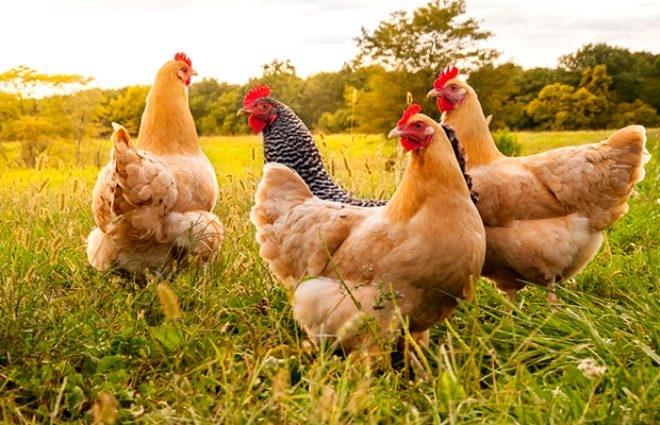 Mide bulandıran olay! 37 yaşındaki sapık, tavuk ve civcivlere tecavüz et galerisi resim 6