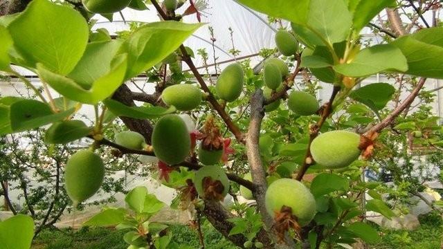 Çağla meyvesinin faydaları nelerdir? galerisi resim 10