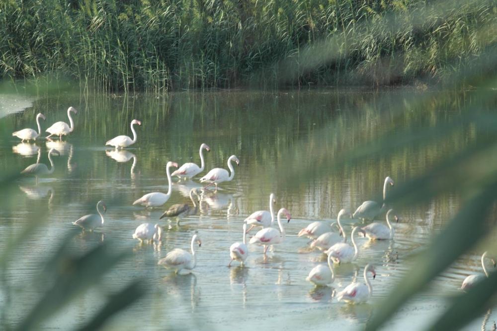 Flamingolar Haspolat'ı ziyaret etti... galerisi resim 2