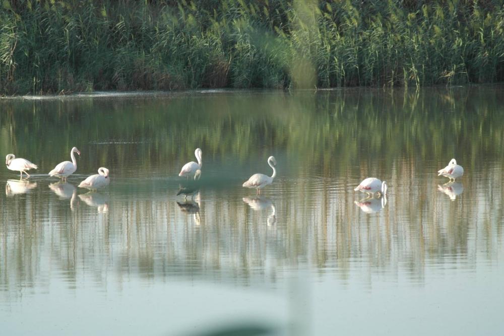 Flamingolar Haspolat'ı ziyaret etti... galerisi resim 3