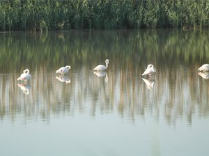 Flamingolar Haspolat'ı ziyaret etti...