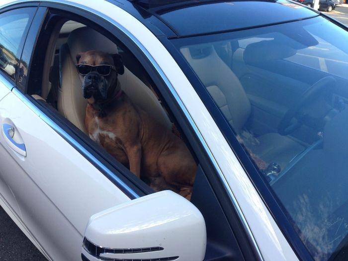 Dünyanın en garip köpek cinsi: Boksörler galerisi resim 116
