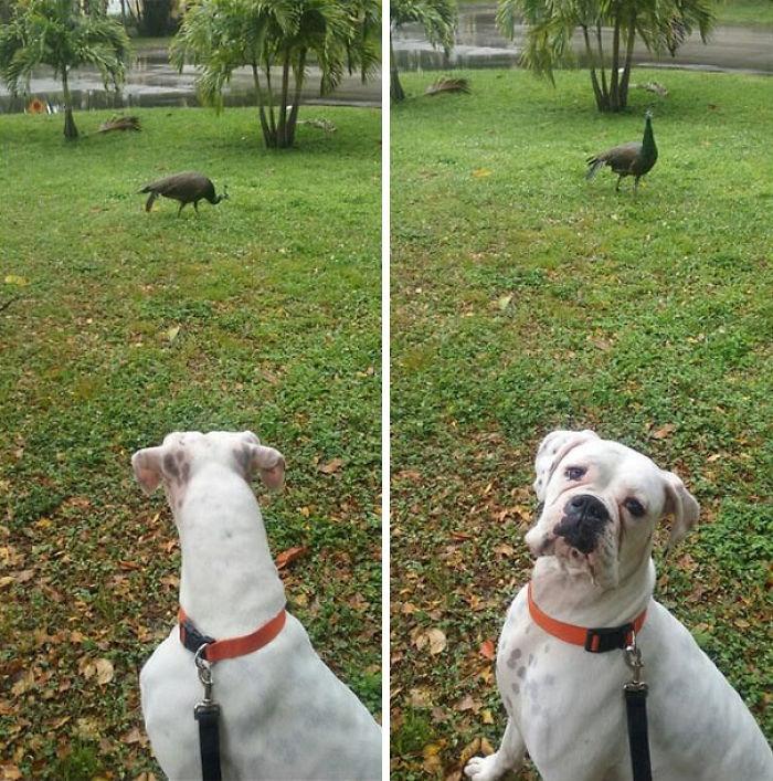 Dünyanın en garip köpek cinsi: Boksörler galerisi resim 123
