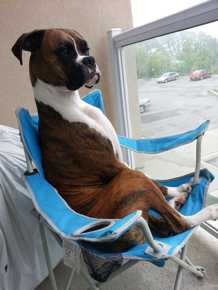 Dünyanın en garip köpek cinsi: Boksörler galerisi resim 124