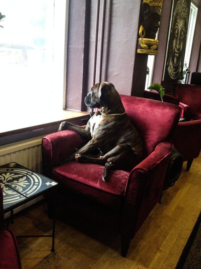 Dünyanın en garip köpek cinsi: Boksörler galerisi resim 128
