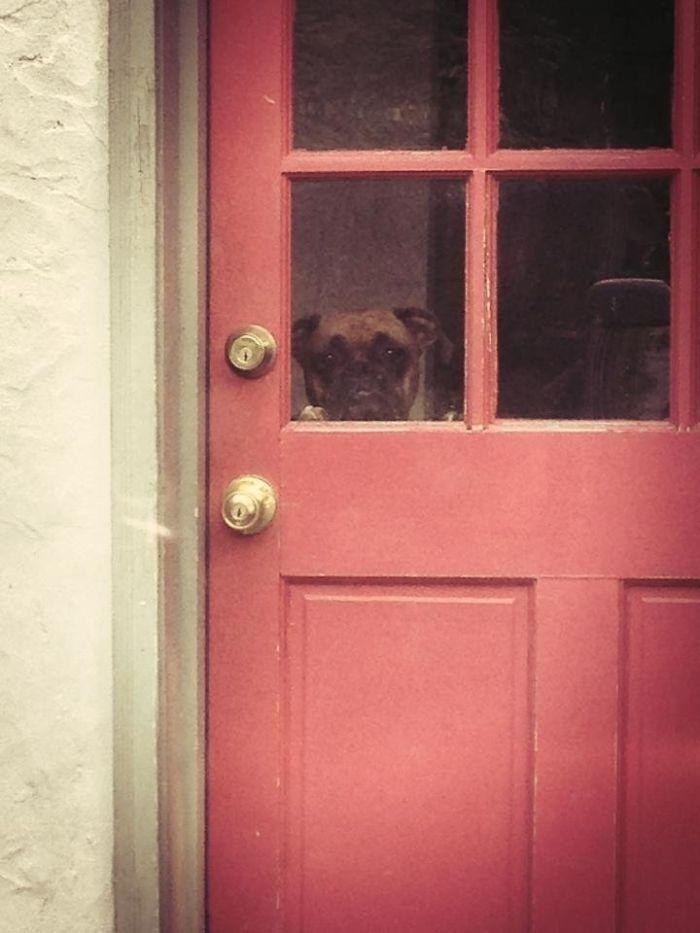 Dünyanın en garip köpek cinsi: Boksörler galerisi resim 137