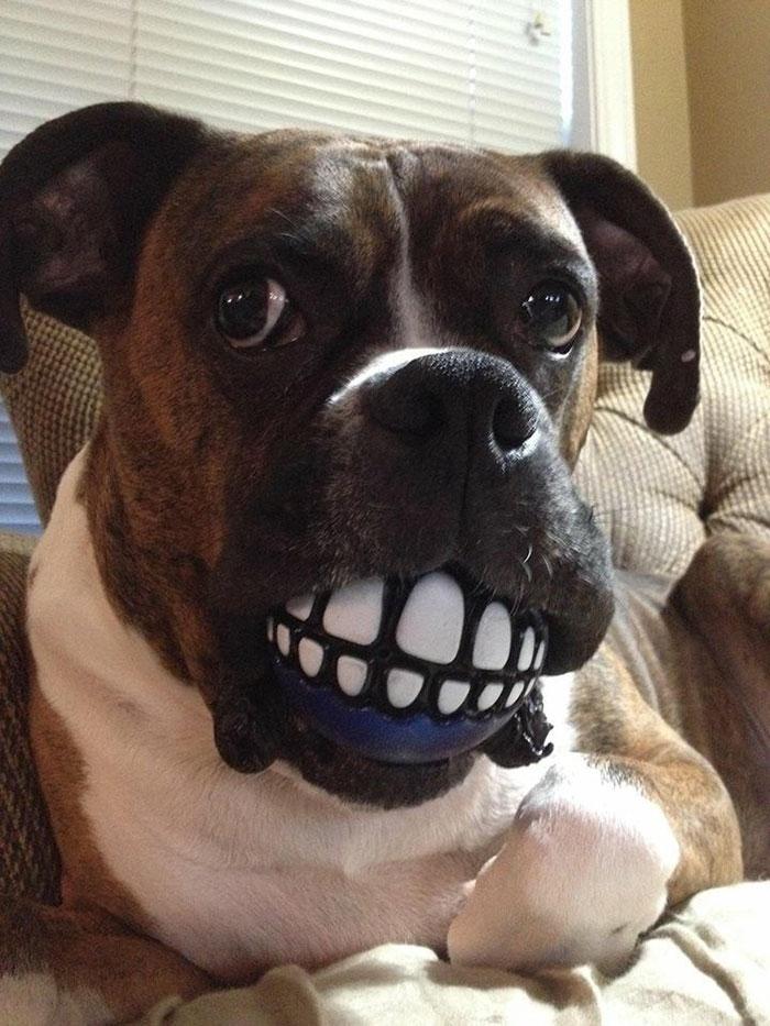 Dünyanın en garip köpek cinsi: Boksörler galerisi resim 153