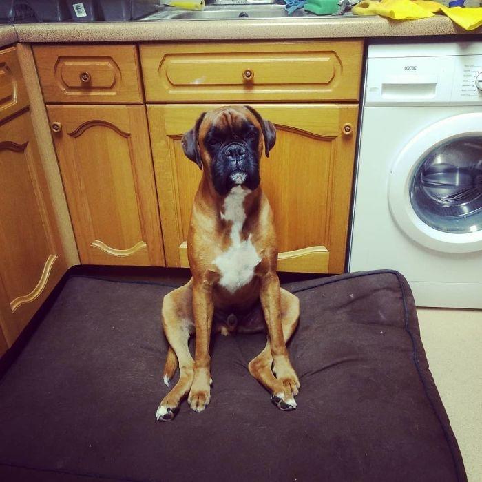Dünyanın en garip köpek cinsi: Boksörler galerisi resim 170
