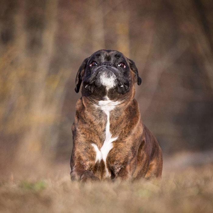 Dünyanın en garip köpek cinsi: Boksörler galerisi resim 171