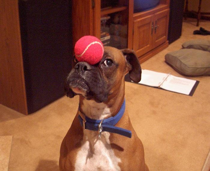 Dünyanın en garip köpek cinsi: Boksörler galerisi resim 172