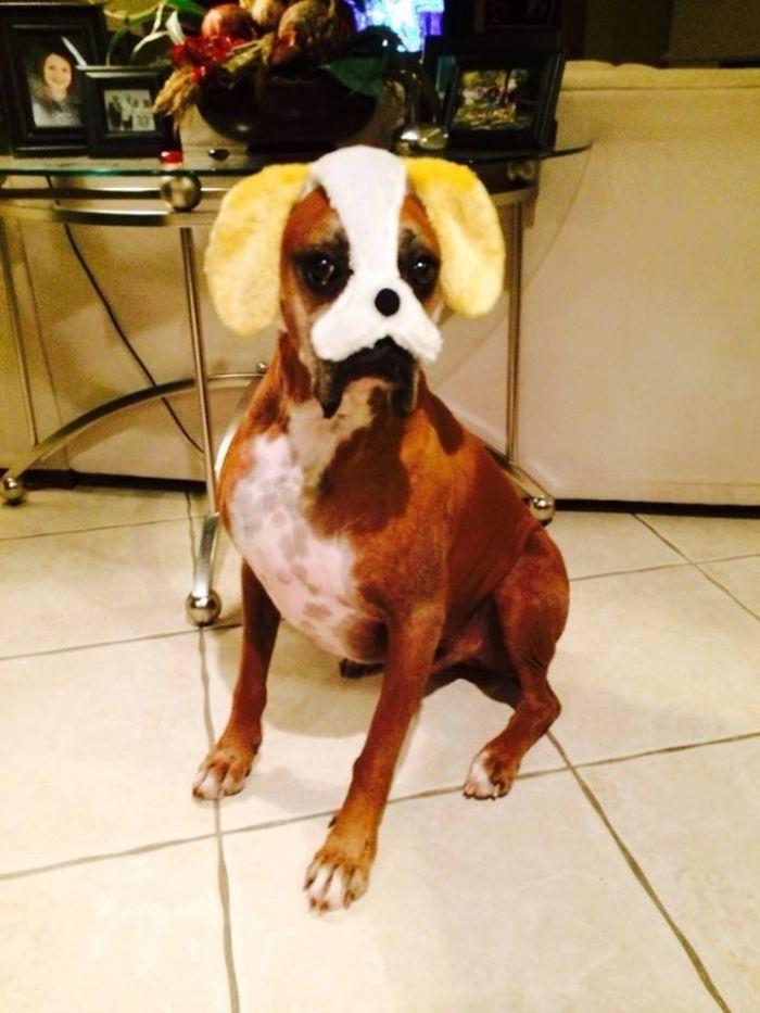 Dünyanın en garip köpek cinsi: Boksörler galerisi resim 187