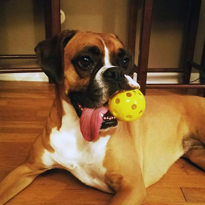 Dünyanın en garip köpek cinsi: Boksörler galerisi resim 189