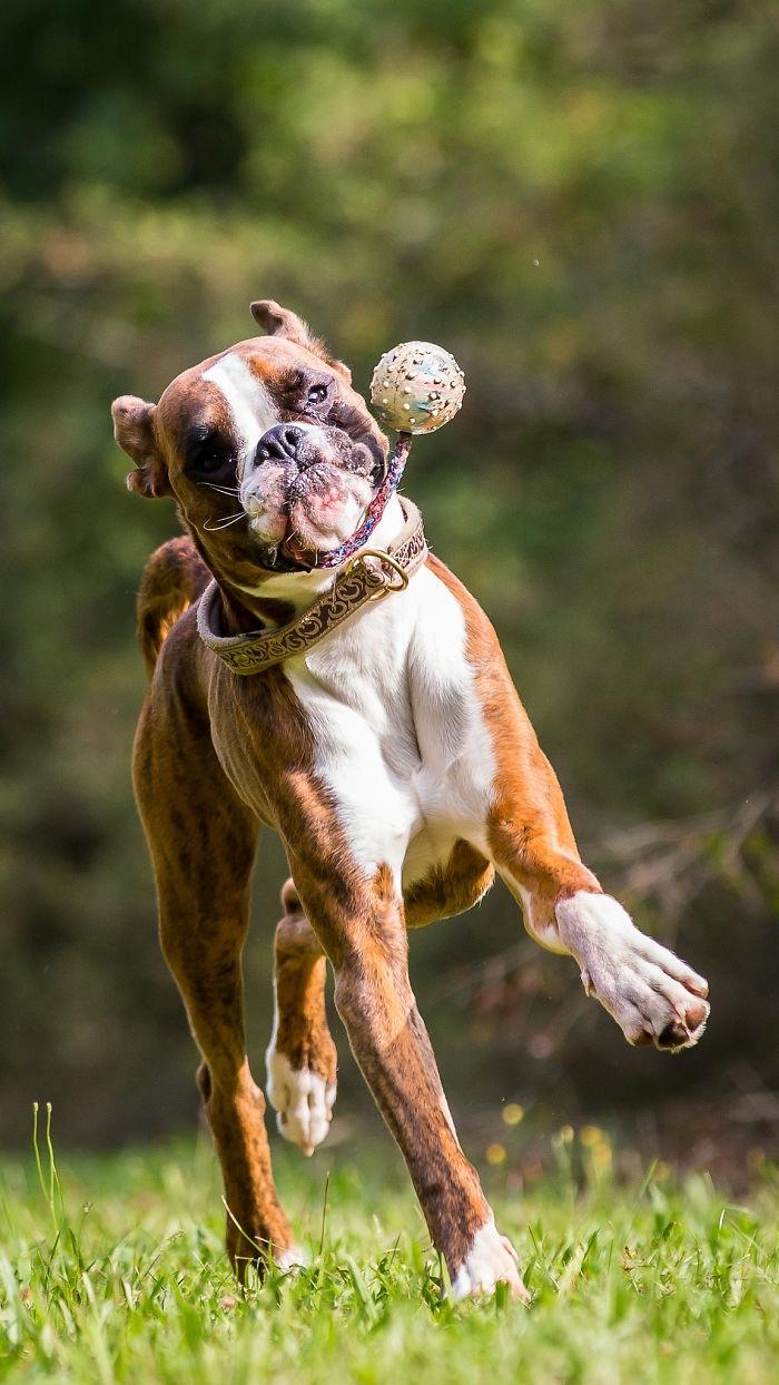 Dünyanın en garip köpek cinsi: Boksörler galerisi resim 193