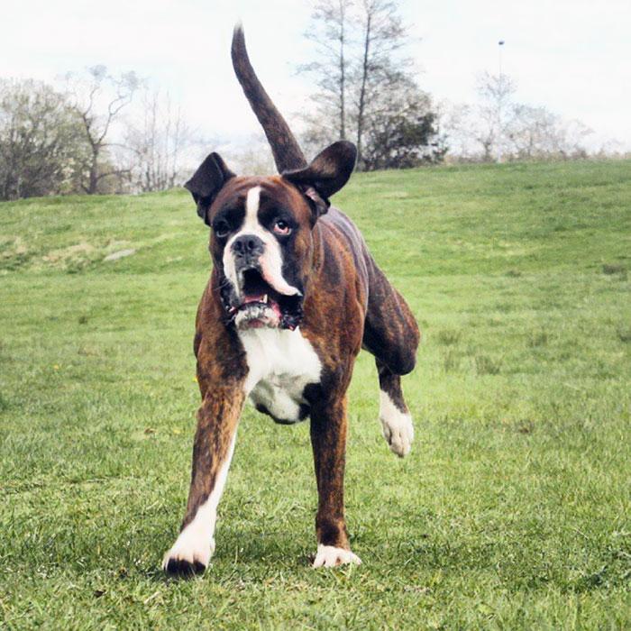 Dünyanın en garip köpek cinsi: Boksörler galerisi resim 194