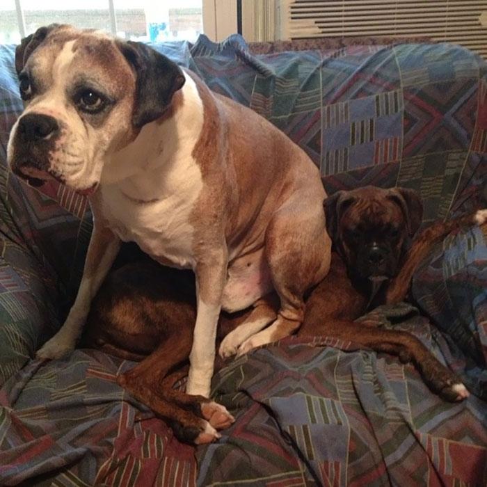 Dünyanın en garip köpek cinsi: Boksörler galerisi resim 200