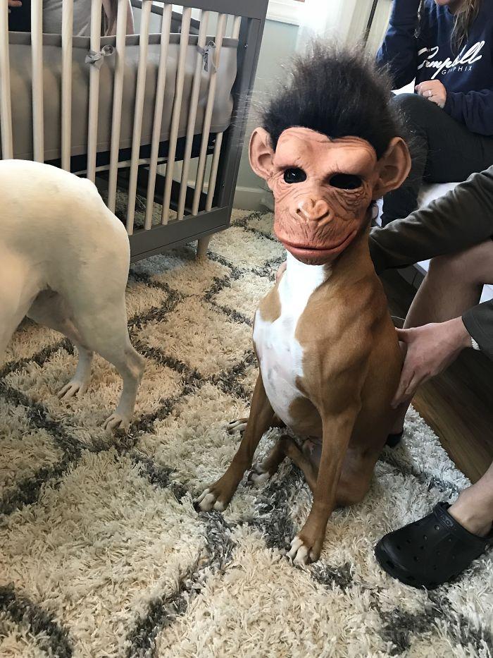 Dünyanın en garip köpek cinsi: Boksörler galerisi resim 207
