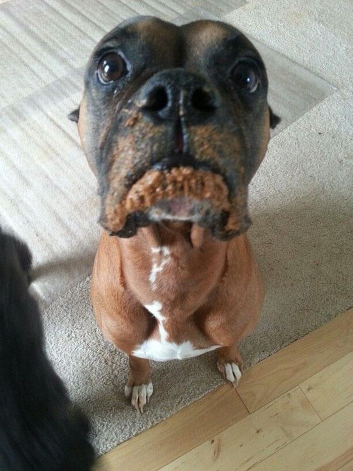 Dünyanın en garip köpek cinsi: Boksörler galerisi resim 210