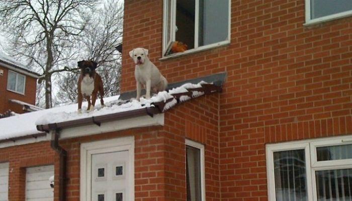 Dünyanın en garip köpek cinsi: Boksörler galerisi resim 22