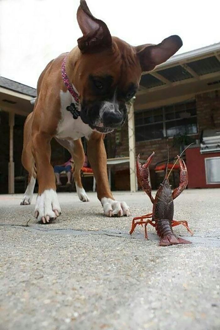 Dünyanın en garip köpek cinsi: Boksörler galerisi resim 41