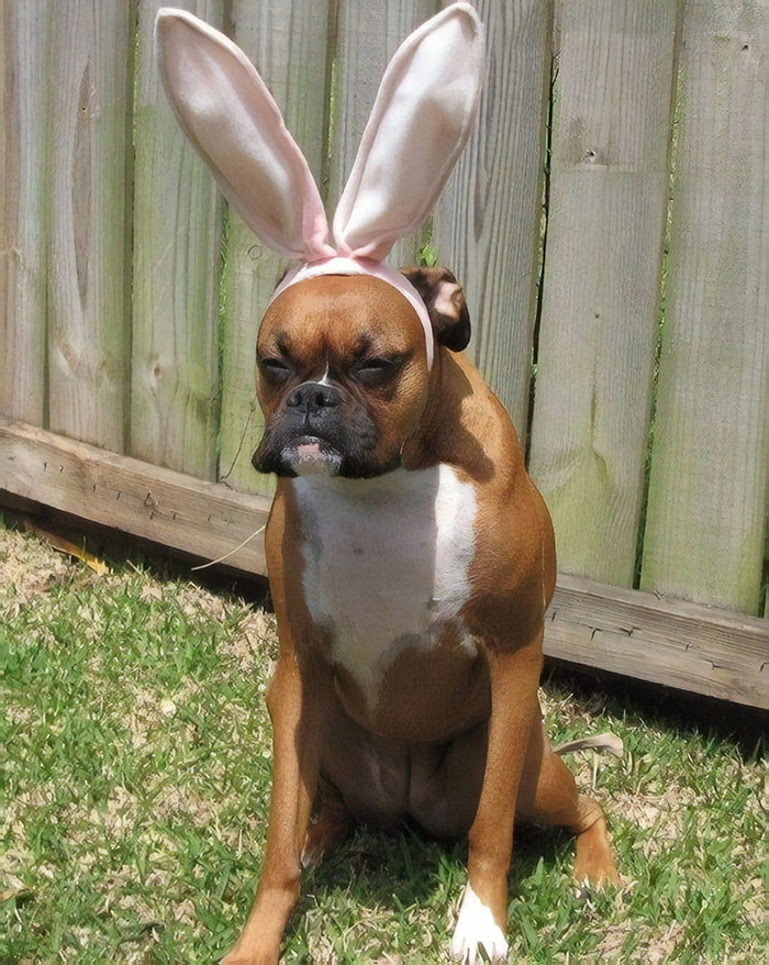 Dünyanın en garip köpek cinsi: Boksörler galerisi resim 43