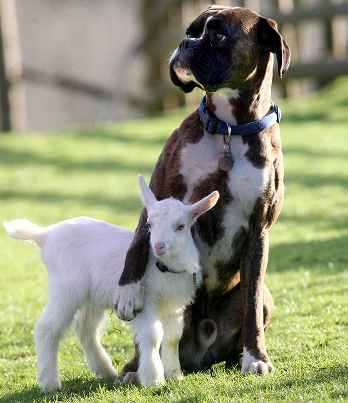 Dünyanın en garip köpek cinsi: Boksörler galerisi resim 5