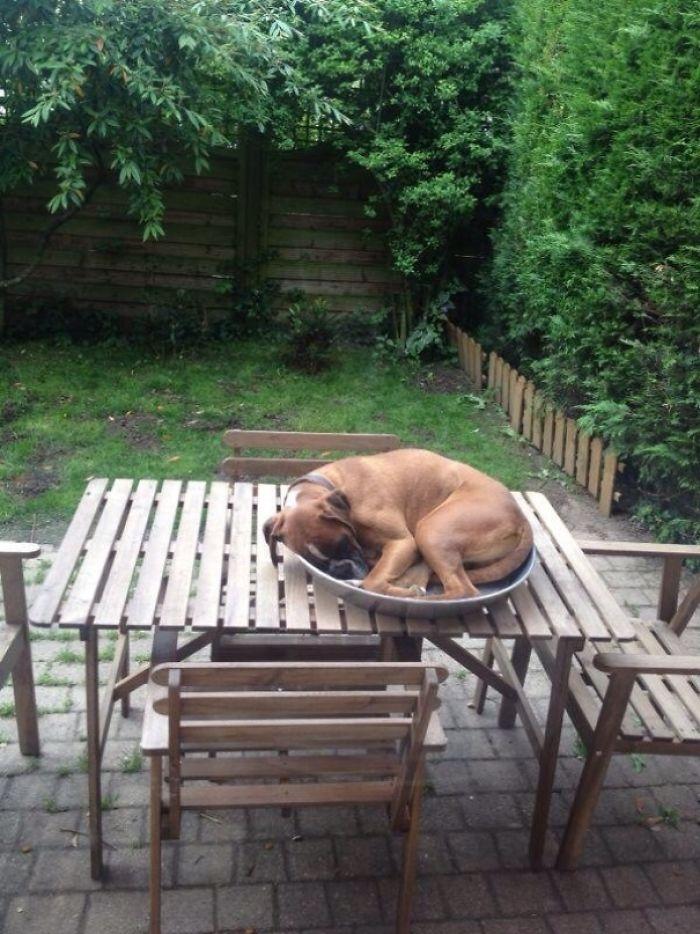 Dünyanın en garip köpek cinsi: Boksörler galerisi resim 57