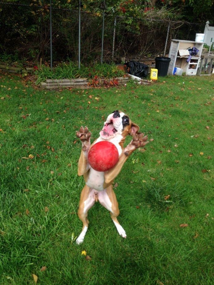 Dünyanın en garip köpek cinsi: Boksörler galerisi resim 61