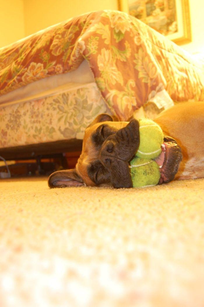 Dünyanın en garip köpek cinsi: Boksörler galerisi resim 77