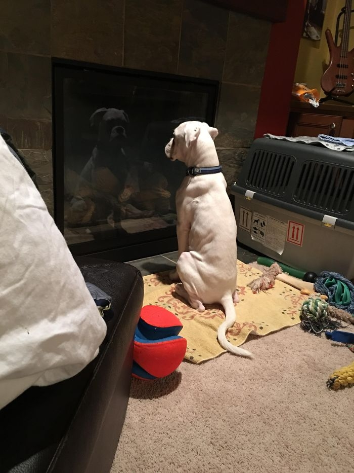 Dünyanın en garip köpek cinsi: Boksörler galerisi resim 98