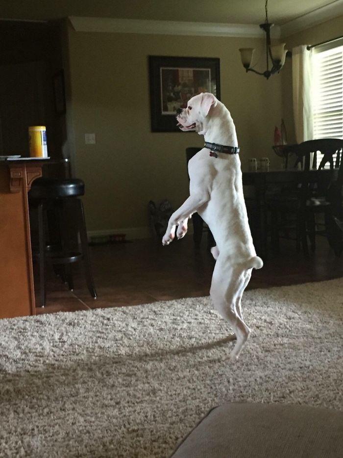 Dünyanın en garip köpek cinsi: Boksörler galerisi resim 99