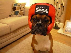 Dünyanın en garip köpek cinsi: Boksörler