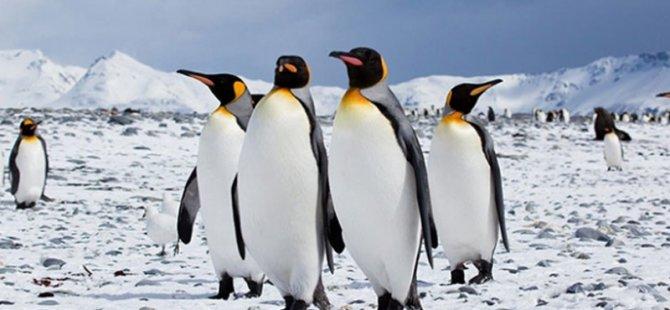 Kral penguenlerinin dışkısı gülme gazı yayarak bilim insanlarını sersemletti