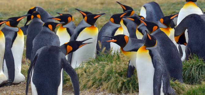 Antarktika'da sürpriz keşif: Denizdeki buzlar eridikçe, penguenler mutlu oluyor