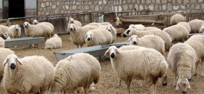 DÜÇ, kasaplık hayvan satışı yapacak