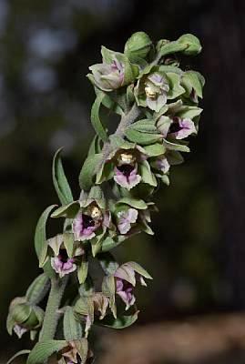 Trodos'ta Nadir Görülen Orkide Çiçek Açtı