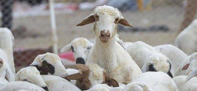 Devlet Üretme Çiftlikleri, kasaplık kuzu satışı yapacak. taban fiyat, kilosu 29 tl…