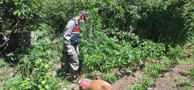 Bahçıvanlık yaptığı evde Hint keneviri yetiştiriyormuş