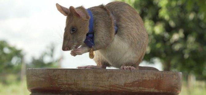 Mayınların yerini belirleyerek hayat kurtaran sıçan Magawa'ya altın madalya