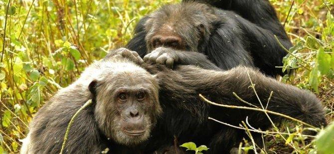 Şempanzeler de insanlar gibi yaşlanıyor: Huzur arıyor, karşılığını alabildiği arkadaşlıklar kuruyor