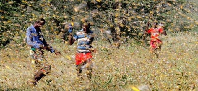 Kenya'da Çekirge Sürüleri 47 İlçenin 15'ini İşgal Etti