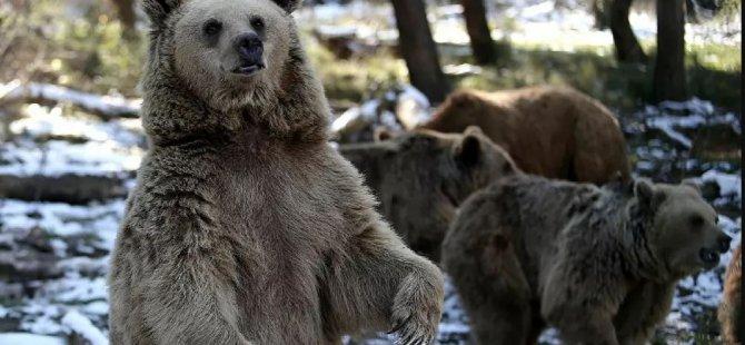 Türkiye'nin tek ayı barınağındaki 71 ayı kış uykusuna yatmadı: Günde 400 kilo yiyecek veriliyor