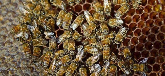 Koronaya iyi geliyor diyerek bal arılarına kendilerini ısırtıyorlar