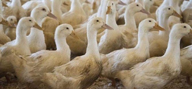 Fransa'da 2 Milyona Yakın Ördek Kuş Gribi Nedeniyle İtlaf Edildi
