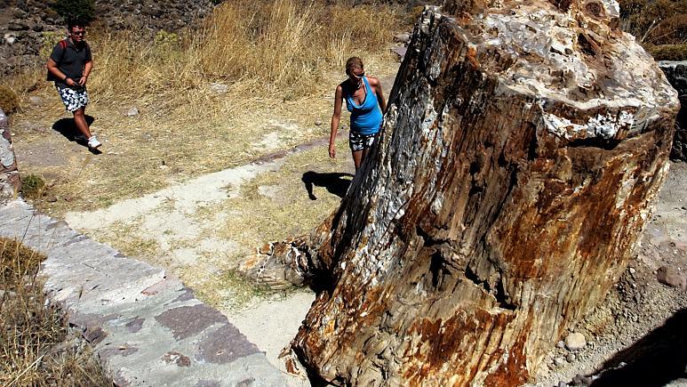 Yunanistan'da 20 milyon yıllık fosil ağaç bulundu