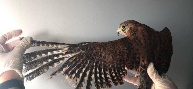 Yasadışı Alıkonulan ve Kafeste Beslenen Yırtıcı Kuş Kurtarıldı!